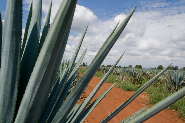 C23. Campo agave #5